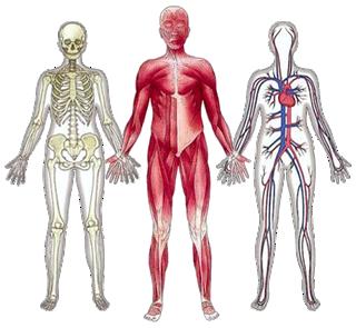 Lista de Partes do Corpo