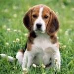 Amigo Cachorro